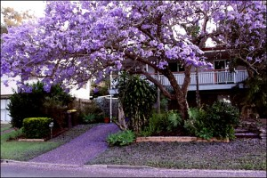 Jacaranda season in Brisbane is also storm season
